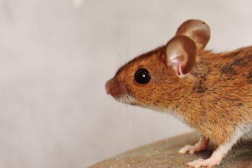 ratten en muizen